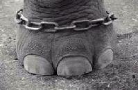 Devocional-Diario-elefante-atado