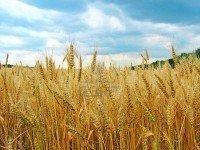 Campo de trigo cosecha