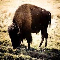 el-bufalo-en-la-biblia